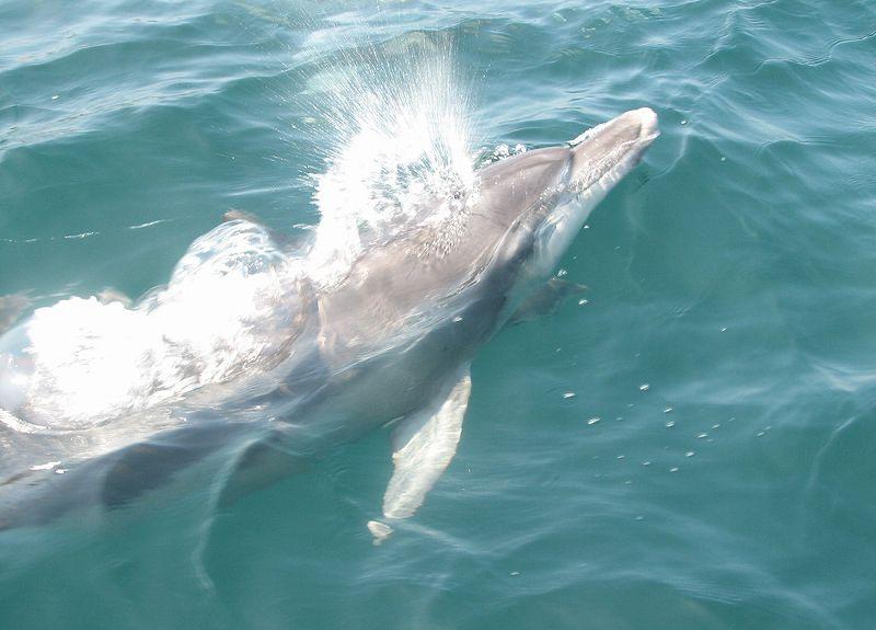 イルカに会える♪野生のイルカウォッチング!【乗合コース/熊本/天草/クルーズ】天草イルカウォッチング<10:00>