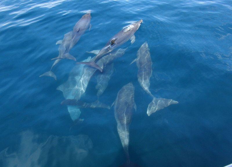 イルカに会える♪野生のイルカウォッチング!【乗合コース/熊本/天草/クルーズ】天草イルカウォッチング<11:30>