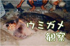 【5月中旬~8月下旬期間限定】ウミガメ観察 エコツアーウミガメエコツアー