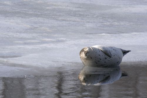 冬の動物ウォッチング ~知床で日本の自然の豊かさを感じる~冬の動物ウォッチング~知床の豊かさを感じる~ ※2月12日~3月28日