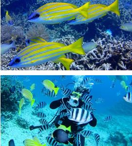 <沖縄・シュノーケリング/ダイビング>カラフルな熱帯魚達が集まる楽園へ ~熱帯魚コース~※お得無料プラン!! <シュノーケリング>熱帯魚コース