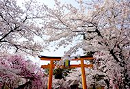 kyoto cherry blossom viewing tour