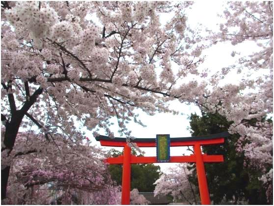 "<XP>京都御苑と桜の名所、平野神社"""