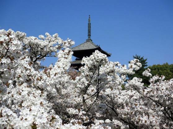 <F1>春爛漫、京の桜 京都の桜名所めぐり