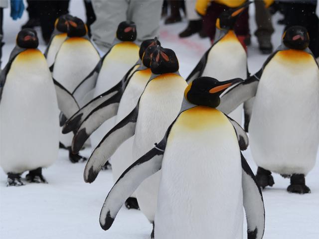 2020~2021年 冬の旭山動物園とライトアップ青い池&白ひげの滝欲張りプラン