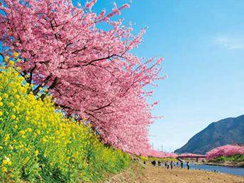 春一番!河津桜と絶景三島スカイウォーク、おやつは紅くて甘いいちご狩り食べ放題♪
