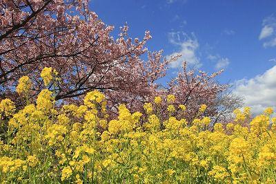 河津桜たっぷり100分と絶景伊豆のパノラマパーク・涼やかな浄蓮の滝 お昼は50種類のバイキング付♪