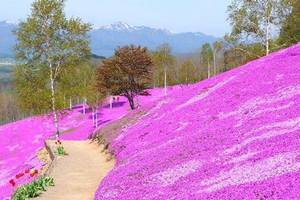 花の競演!滝上芝桜と上湧別チューリップ公...の写真