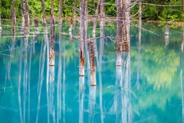旭山動物園と青い池・ファーム富田&ニングルテラス日帰りバス