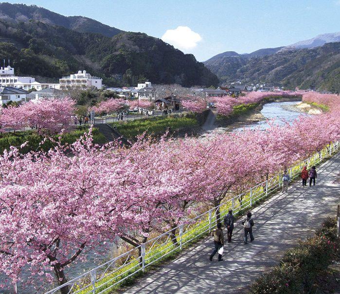 【荻窪発】少し早い春を満喫♪河津桜まつり