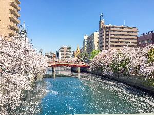 桜花爛漫の美を仰ぐ 大岡川の桜とみなとみらい絶景クルーズ