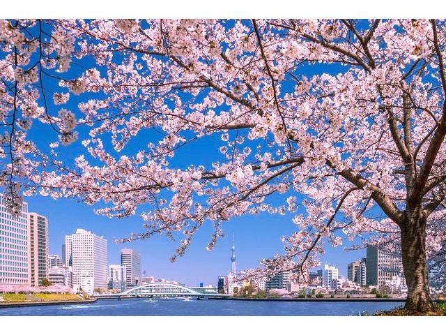 隅田川の桜めぐりクルーズ~夢観月お花見周遊プラン!~ <乗合い・45分>