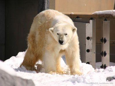 ■北海道リゾートライナー[旭山動物園1D...の写真