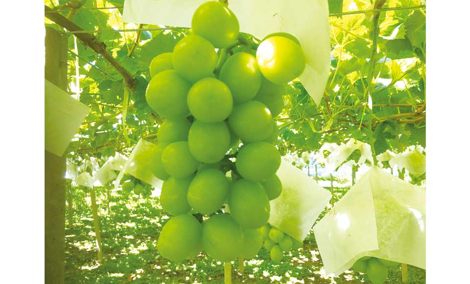 【H589B】緑の宝石シャインマスカット食べ放題とパノラマビューの絶景昇仙峡ロープウェイ