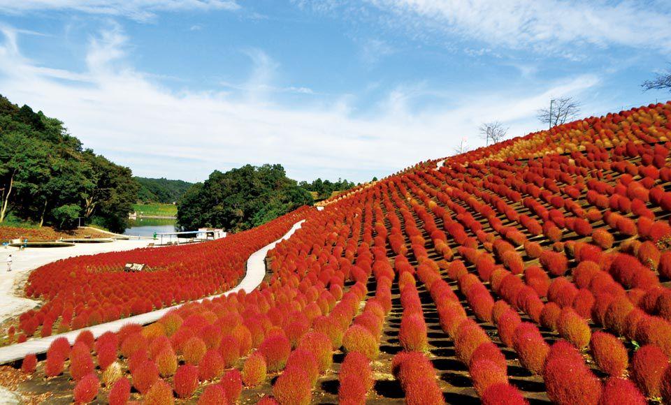 【H886】マザー牧場ジンギスカンと東京ドイツ村2万株のモコモココキアの丘