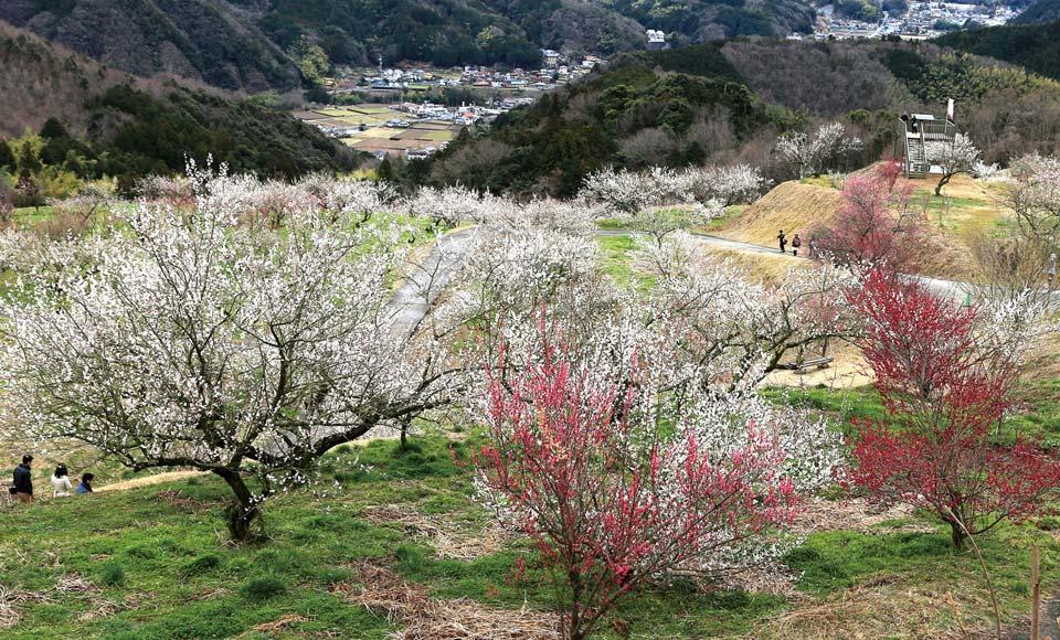 【H927A】早春の訪れを告げる花巡り 河津ざくら&修善寺梅林といちご狩り