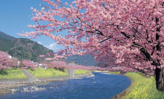 【H925】河津ざくらのお花見とランチバイキング・いちご狩り