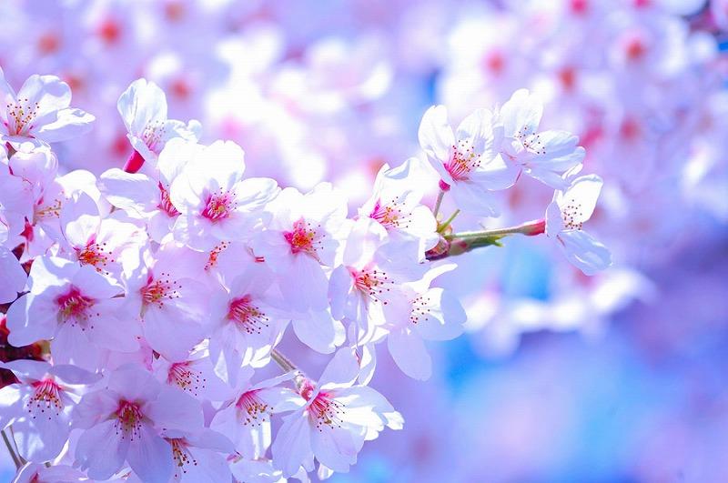 春の嵐山散策と嵯峨野トロッコ列車