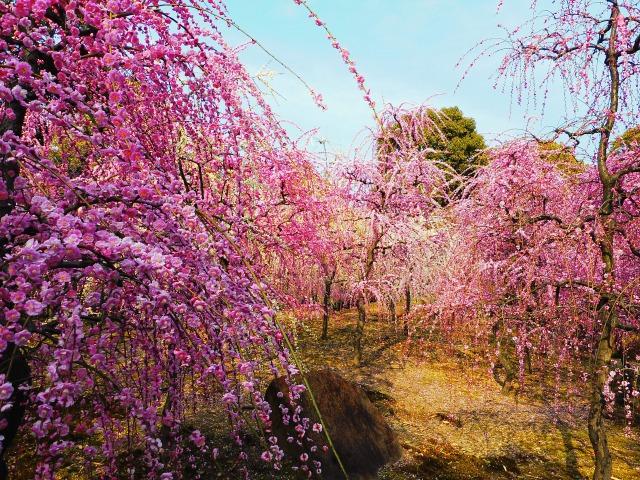 <FA>京の花紀行・梅の香めぐり 智積院の梅と城南宮のしだれ梅