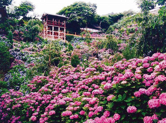 FD>京の紫陽花、両横綱をたずねて 東の「三室戸寺」、西の「善峯寺」