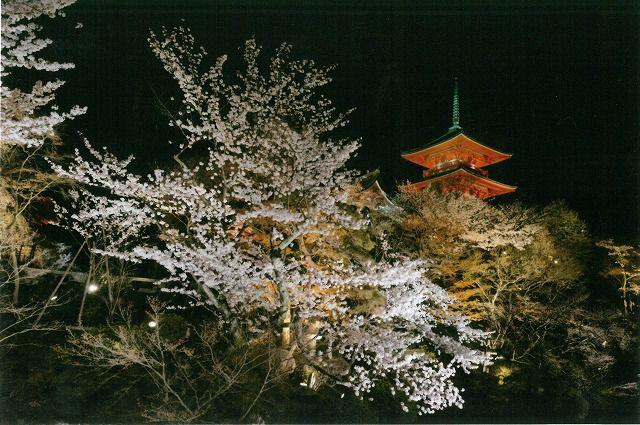 <NH>京のライトアップ夜桜 祇園しだれ桜といそべの「花見御膳」