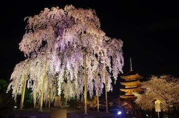 "<NK>京のライトアップ夜桜 東寺""不二桜""と二条城清流園"