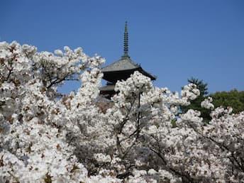 <Z>春爛漫、京の桜、洛北の桜と上賀茂神社 仁和寺 御室桜