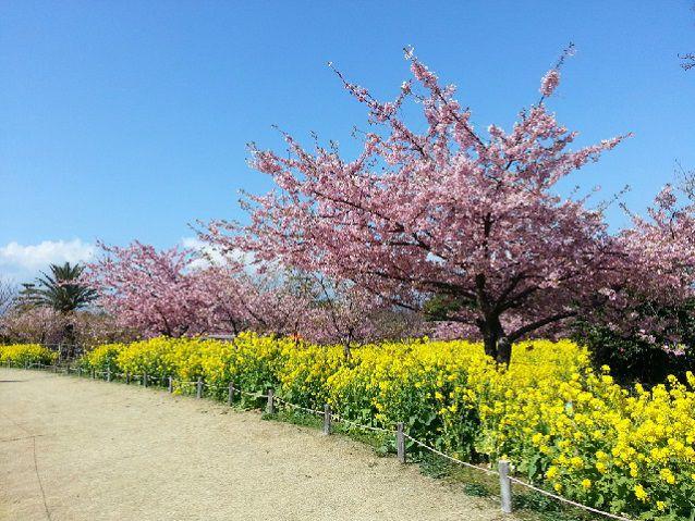 「初島」(はつしま)の河津桜と菜の花観賞バスツアー