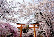 kyoto cherry blossom viewing tour